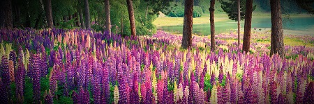 LAKESIDE LUPINS - click for enlargements, information & purchasing
